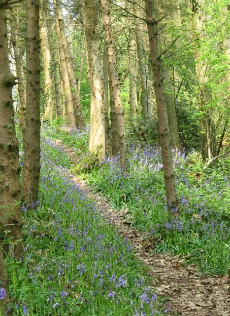 Path through the woods with bluebells.JPG